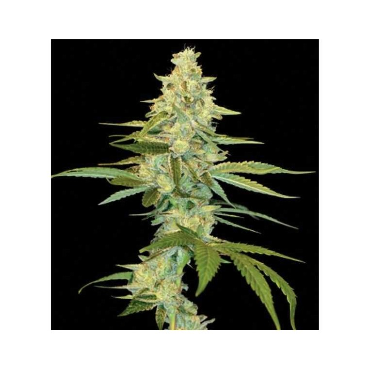 Semillas de Marihuana Cannalope kush 6 Unidades