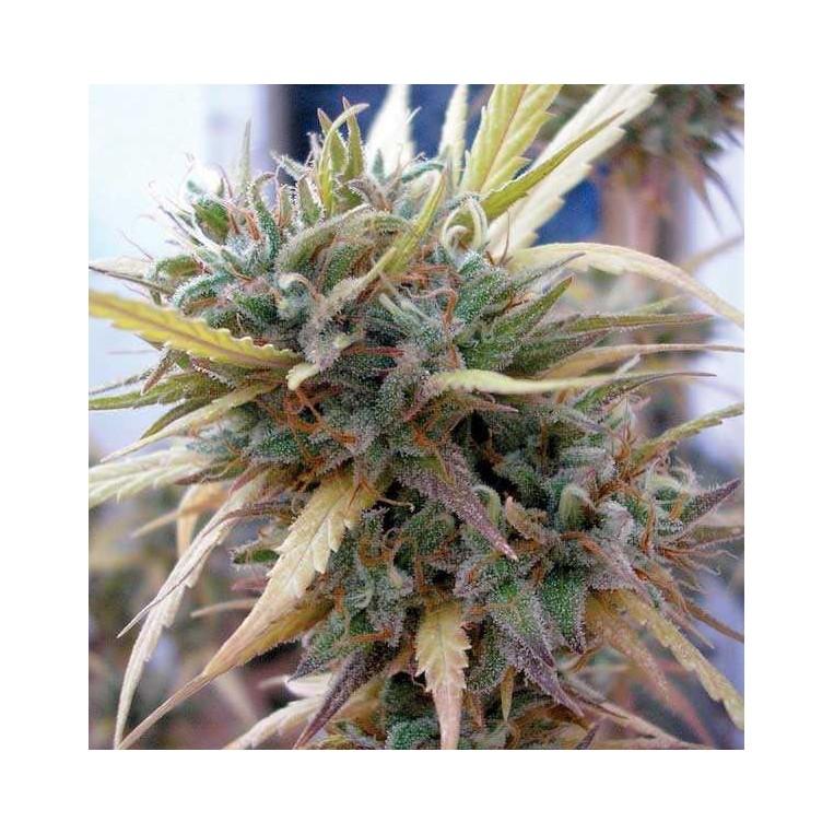 Hashplant Haze 6 Unidades