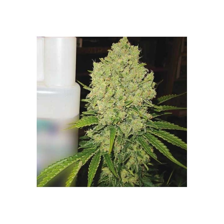 Prozac Medical Seeds
