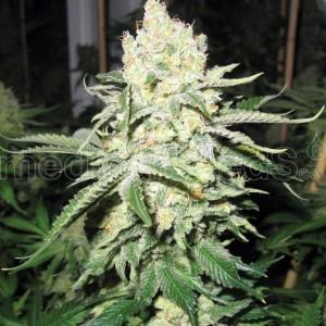 No Name semillas de Medical Seeds Marihuana