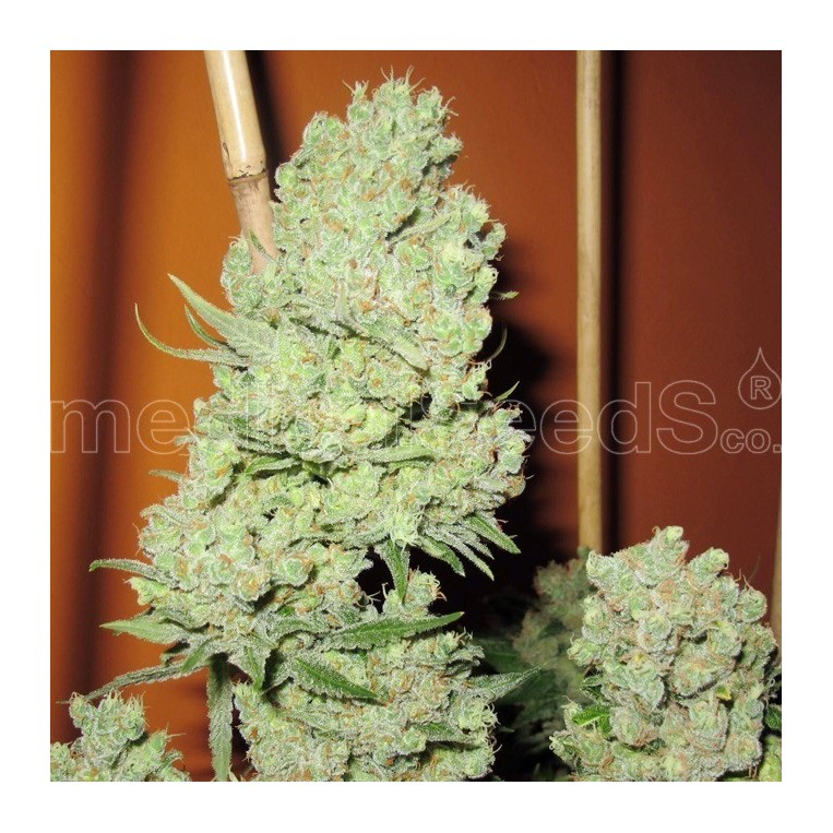 Channel + semillas Medical Seeds