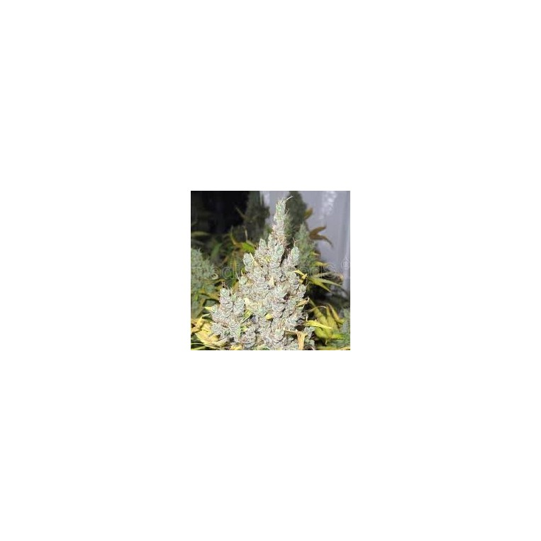 2046 Medical Seeds Semillas de Marihuana