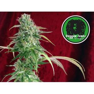Semillas de marihuana Juanita la Lagrimosa