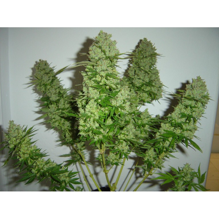 Moby Dick Auto