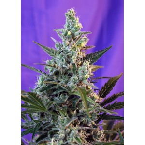 Sweet Skunk Fast Version F1