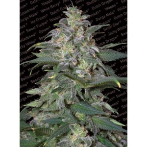 Semillas de Marihuana Magic Bud