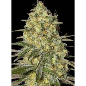 Semillas de marihuana Black Dream