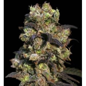 Semillas de Marihuana Pink Plant