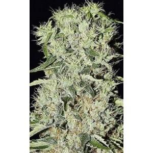 Semillas de Marihuana Damnesia