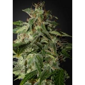 Semillas de Marihuana Afgooey