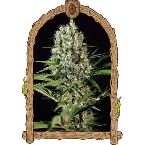Semillas de Marihuana Quick Mass
