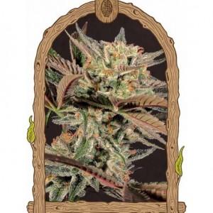 Semillas de Marihuana Amnesia 7