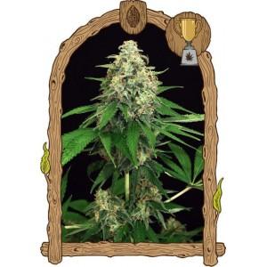 Semillas de Marihuana Mango Cream