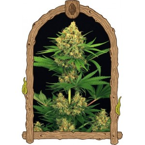 Semillas de Marihuana Tangerine Kush