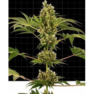 Sensi Seeds Research CBD Auto