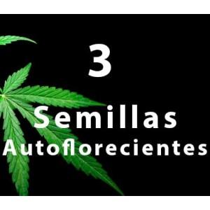 3 - Semilla AUTOFLORECIENTE