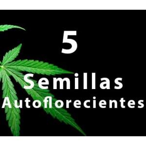 5 - Semilla AUTOFLORECIENTE