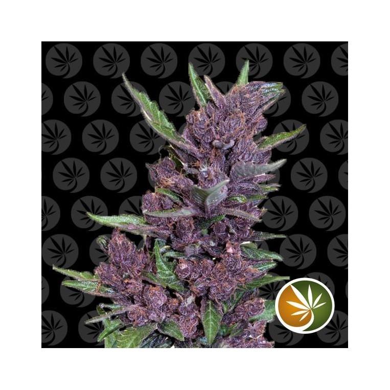 Critical Purple