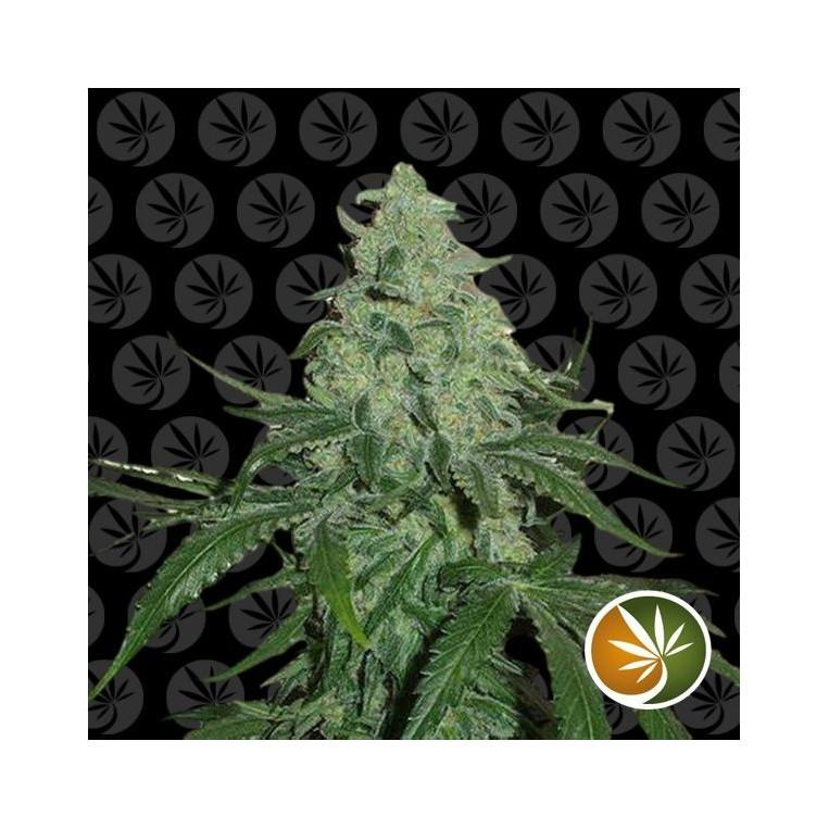 Super Skunk semillas de marihuana