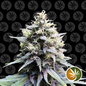 Chocolope semillas de marihuana feminizadas a granel.