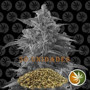 Semillas de Marihuana Rocky Dirck 50 Und