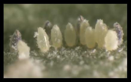insecticida mosca blanca