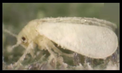 mosca blanca plantas