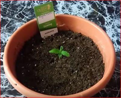 plantas de marihuana en tierra