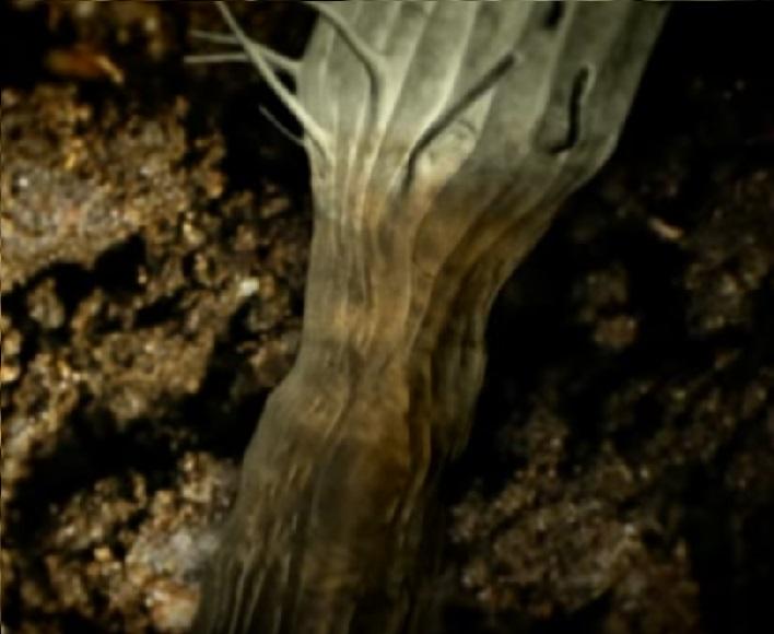 Phytium atacando a la planta en el tallo
