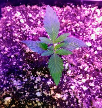 Tropicanna poison f1 comienzo de crecimiento