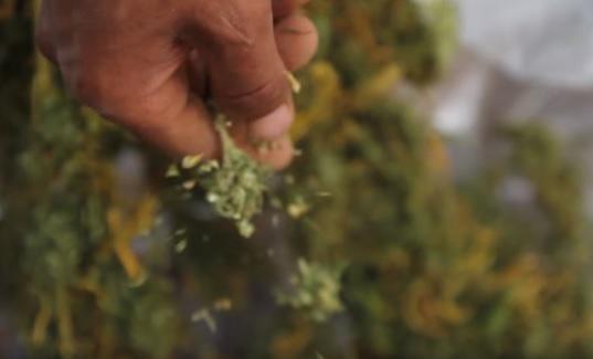afgana marihuana