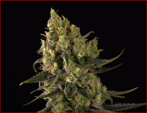 amnesia planta marihuana
