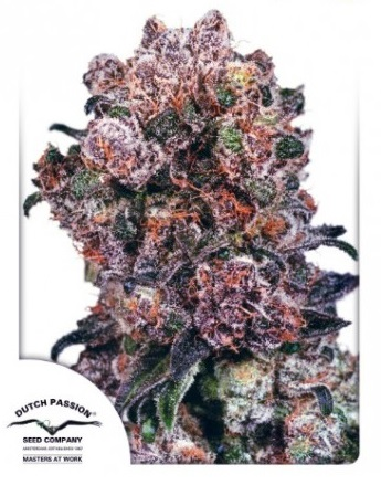 Blueberry Dutch Passion