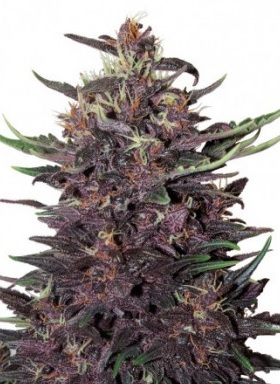 Purple Kush Auto Buddha Seeds