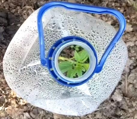 Como cuidar una planta de maria exterior