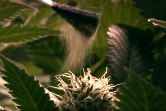 Feminizar semillas
