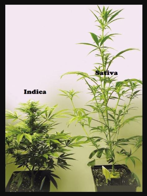 Como plantar maria en interior