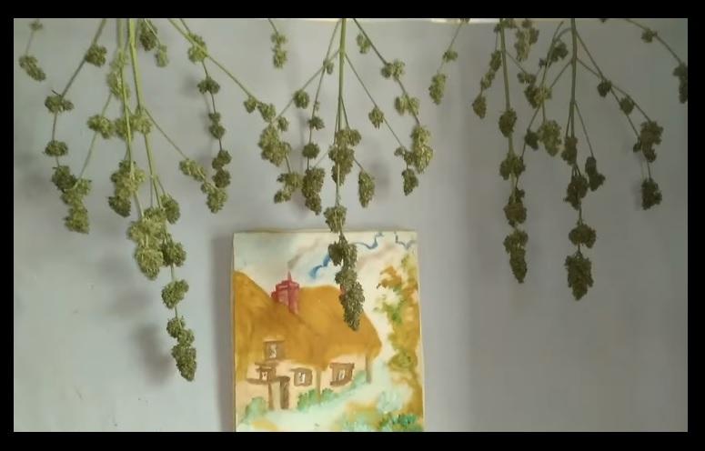 Como Plantar Marihuana Autofloreciente