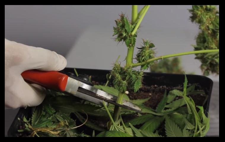 Cuando cortar marihuana interior