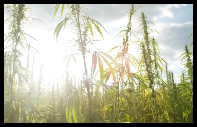 Cuando plantar Autoflorecientes