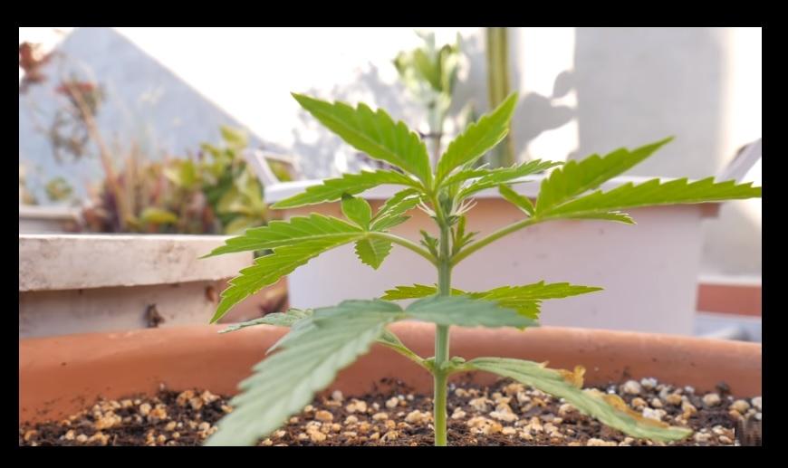 Cultivar Autoflorecientes
