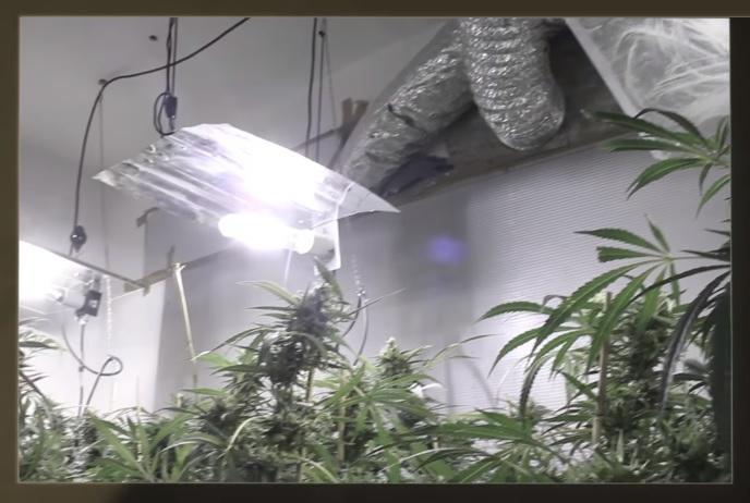 Cultivar la marihuana en casa