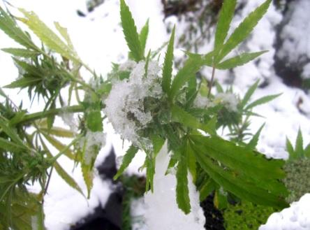Cultivar Marihuana en Invierno