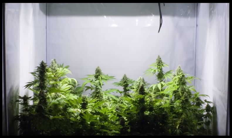 Cultivo de Cannabis en casa