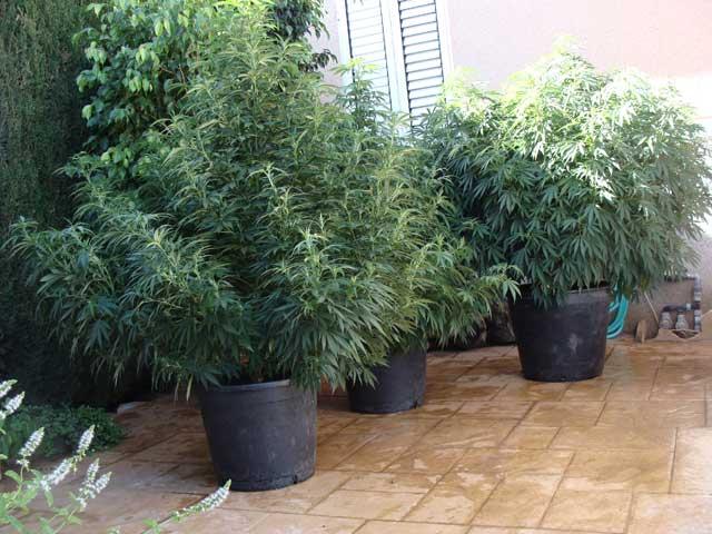 Cultivo de Marihuana en Macetas ¿Beneficios?