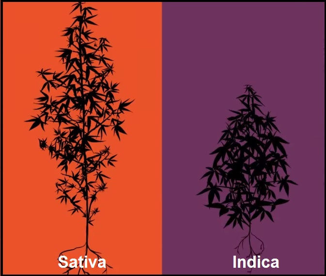 Diferencias Indica Sativa