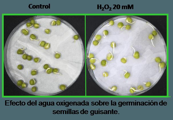 agua oxigenada al germinar semillas de marihuana