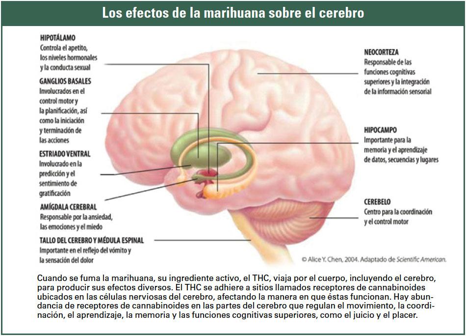 efectos en el cerebro de la marihuana