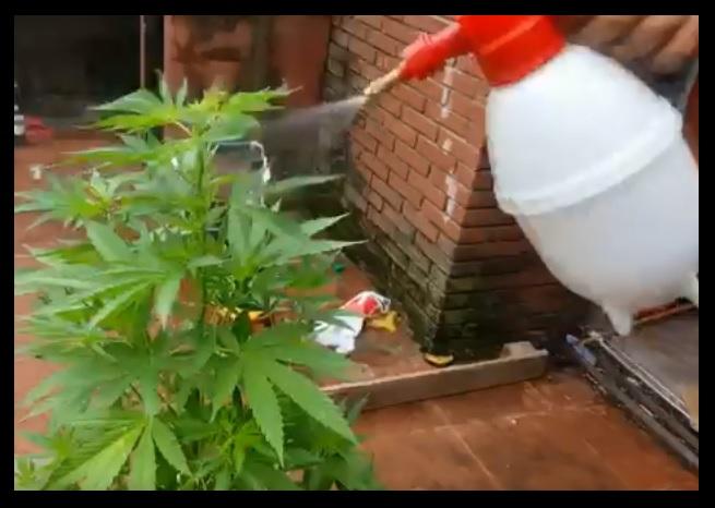Fotos de plagas de marihuana