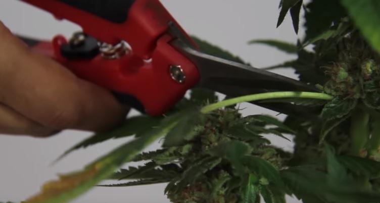 Fumar Marihuana con Moho